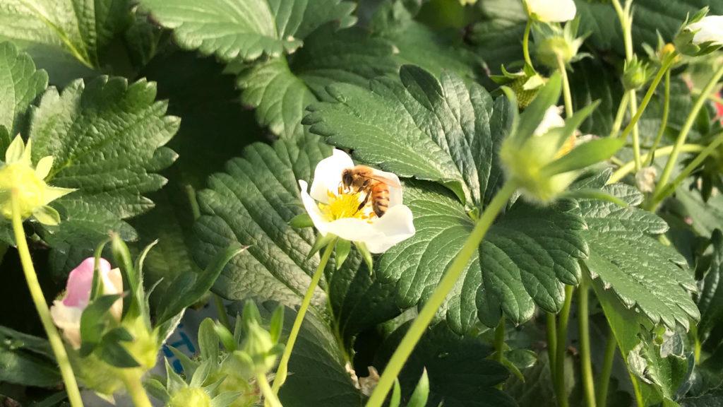 受粉するミツバチ