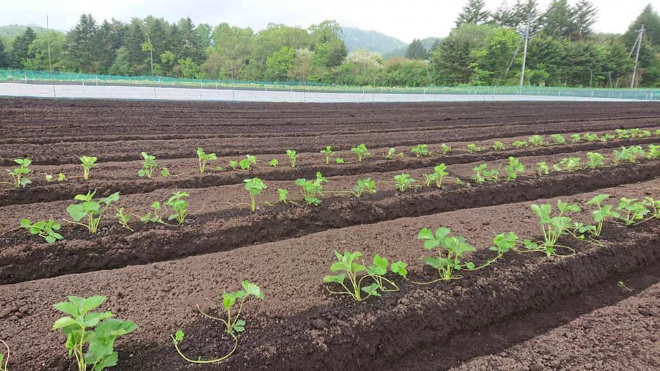 軽井沢の畑に苗の植え付け