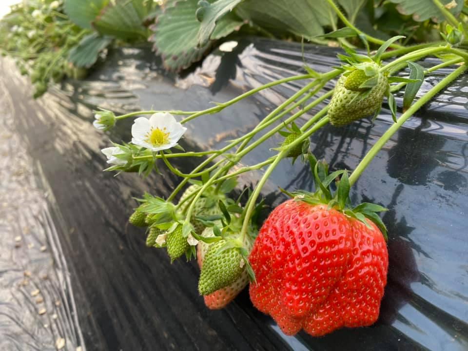 2番果実の収穫スタート