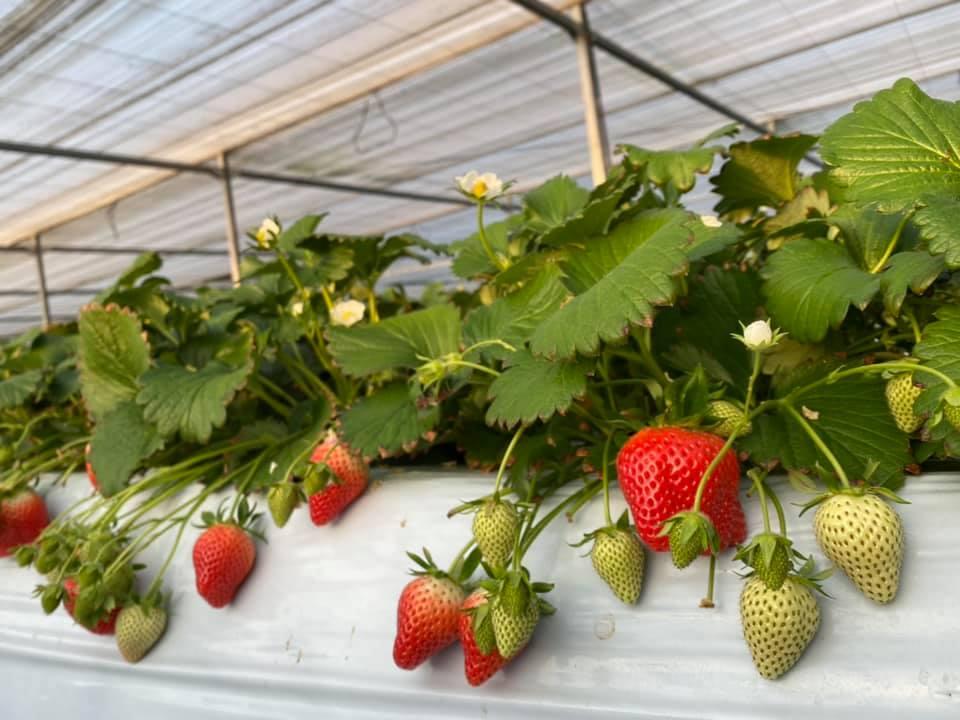 2番果実収穫中